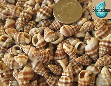 1/2 CUP SMALL NASSARIUS PHYRRUS SEA SHELLS - CRAFT OR TINY HERMIT CRAB