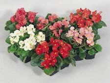 50 Begonia Seeds Pelleted Seeds Super Olympia Mix  FLOWER SEEDS