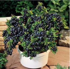 Blueberry Seeds Bonsai Edible Fruit Seed, Indoor, Outdoor 100/Pcs