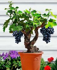 Miniature Grape Vine Seeds - PATIO SYRAH - Vitis Vinifera - Houseplant -15 Seeds