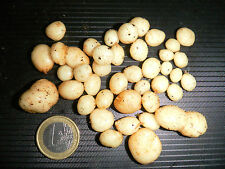 Wild Andean Potato, Devil Potato - Solanum acaule var. caulescens - 15 seeds