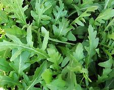 2.000 Graines non traitées de Roquette cultivée - Eruca sativa - Salade, mesclun