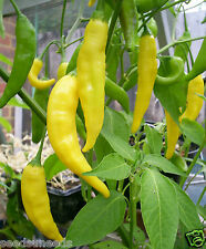 Aji Lemon Drop Chili Chilli Seeds Organic Seeds