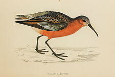 Curlew Sandpiper, Antique Bird Print by Rev. F.O. Morris (ref:299)