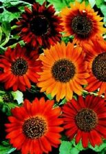 Earthwalker Sunflower 50 Seeds Beautiful Reds, Oranges, and Mahogany Flowers