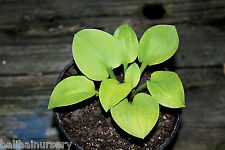 New Hosta Giantland Mouse Cheese garden plant small mound size at maturity