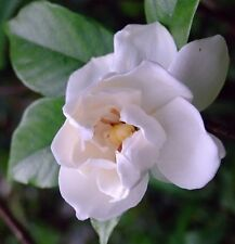 Cape Jasmine Gardenia * Fragrant * 10 Seeds