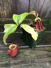Nepenthes ( x hookeriana ) x ampullaria