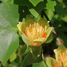 Liriodendron tulipifera Tulip tree  (sent in a 9cm pot)