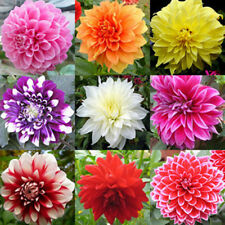 Dahlia Mixed Beauty Flower Seeds Pack of 30
