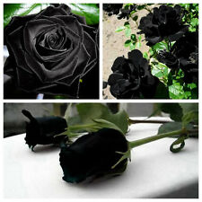 200Pcs Mysterious Black Rose Flower Plant Seeds Beautiful Black Rose