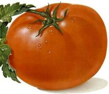 Cambell's Soup Tomato 20 Seeds! COMB. S/H! WE SELL OVER 200 TYPES OF TOMATOES!