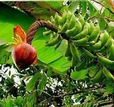 BANANA - Musa borneensis var. Borneensis 5  seeds
