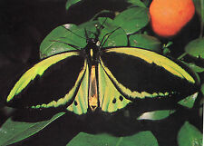 OLD POSTCARD  - BUTTERFLY - Green Birdwing - No 26 Butterfly conservation
