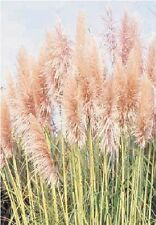 Ornamental Grass - Cortaderia selloana  - Pink Feather - 500 Seeds - Large Pack