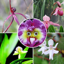 100pcs Rarest Baby Face Orchid Perennial Flower Seeds Professional Pack