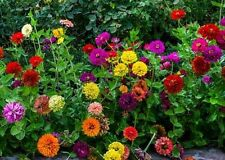 Zinnia- Elegans- State Fair Mix- 100 Seeds