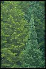 424028 Spruce And Cedar Forest Quebec Canada A4 Photo Print