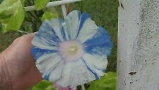 Japanese Morning Glory-Keiryu-8 Seeds from 2015
