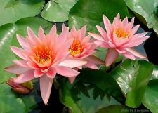 New Fertilizer For All Kind of Lotus & Water Lily Tablets  natural  for lotus