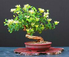 TATARIAN HONEYSUCKLE - Lonicera tatarica - 45 seeds - BONSAI - SOW ALL YEAR