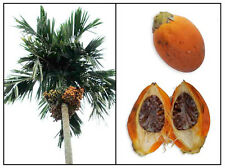 BETEL NUT PALM RARE ARECA CATECHU VIABLE FRESH SEED READY PLANT BING LANG