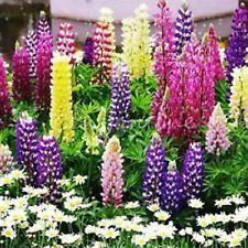 "LUPINE 'Tutti Frutti' ~Mixed Colors~ ""Lupinus Hybridus""   20+ Perennial Seeds"