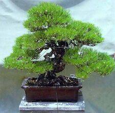 Pinus THUNBERGII-PINO NERO GIAPPONESE - 10 Semi