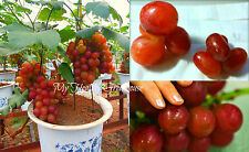"SEEDS – Dwarf GIANT Red Grape ""Aki Queen"" Japanese Upright Self-pollinating tree"