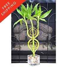 Dream Catcher Lucky Bamboo Plant Arrangement