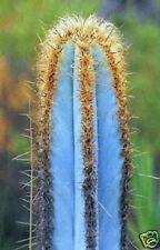 Pilosocereus purpureus @J@ exotic color columnar rare cacti cactus seed 20 SEEDS