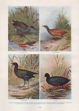 1911 NATURAL HISTORY DOUBLE SIDED PRINT ~ MONAL / WATER-BIRDS COOT MOOR-RAIL