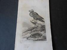 1839 INCISIONE SU ACCIAIO FAUNA DELLA SARDEGNA:GIPETO, CONGILO E SERPE SARDINIA