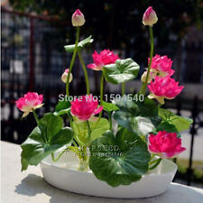 30 Pcs Small WATER LILY Mini LOTUS Seeds Flowers Bonsai Plants Home Garden MIX