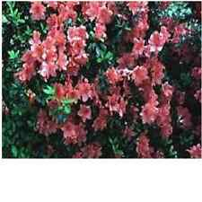 "Azalea, ""Fashion"", orange-red flowers, flowering evergreen, TEN plants"