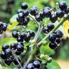 Solanum nigrum (Huckleberry Bush Seeds ) 150+Seeds