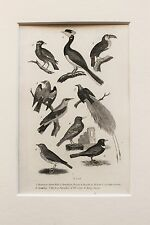 1830s Antique Natural History Print Engraving - Mounted - Exotic Birds