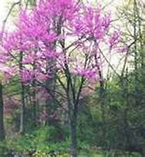 Redbud - Eastern- Tree- 20 Seeds - 50 % off sale