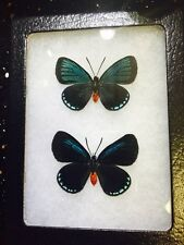 MOUNTED BUTTERFLY! ATALA PAIR ! EX-PUPAE! A-1! WOW!