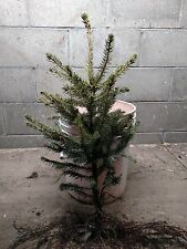 """15 FAST GROWING NORWAY SPRUCE TREES 24""""-30""""!     EXCELLENT PRIVACY!"""