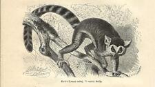 Stampa antica LEMURE DALLA CODA AD ANELLI o CATTA KATTA 1891 Old antique print