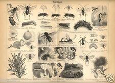 1888= INSETTI SUCCHIATORI = Animali = Antica Stampa = Old ENGRAVING