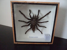 Taxidermy Real Giant Tarantula spider arachnids Insect Entomology Zoology