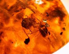 Super RARE GIANT Ant with Large Jaws in Authentic Dominican Amber Gemstone