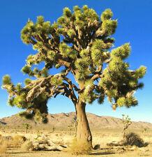 YUCCA BREVIFOLIA, succulent cactus JOSHUA TREE aloe agave garden seed 15 SEEDS