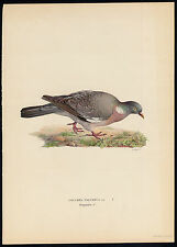 Antique Print-COLUMBA PALUMBUS-COMMON WOOD PIGEON-DOVE-Von Wright-1917