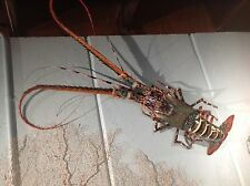 "36"" spiney lobster rock crustacean shell crab mount taxidermy replica 3'"