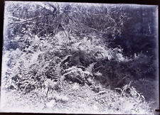 VINTAGE GLASS PLATE NEG. 1910s. THICKET OF FERNS.