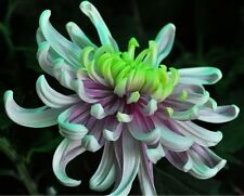 Green Blue Purple Chrysanthemum Perennial Flower Seed,50 Seeds/Professional Pack