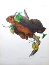 Soporte Shaggy Hongo, Hussey antigüedad ORIGINAL Impresión de hongos seta 1847